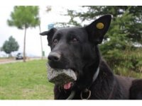 Yavrularını kaybeden köpek, ağzındaki taşı yavrusu sanıyor