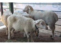 Aydın'da küçükbaş hayvanlara yönelik uygulanan karantina kaldırıldı