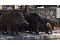 Tatil cennetinde domuzlar şehre indi