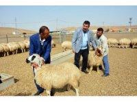 TÜDKİYEB Genel Başkanı Çelik, 300 Koyun Projesi'ne start verdi