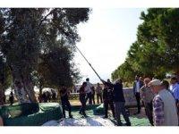 Didim'de zeytin hasadı Anıt ağaçlarda yapıldı