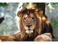 ABD'de dişi aslan yavrularının babasını öldürdü