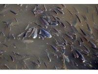 Yeşilırmak'ta çırpınan balıkları endişeyle izlediler