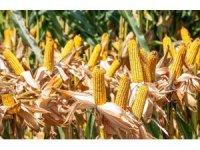 Silajlık mısır çeşitleri çiftçilere kazandırıyor