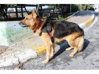 Şanslı isimli felçli köpek yürüteçle hayata tutundu