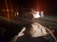 Otomobil ineğe çarptı: 1 yaralı
