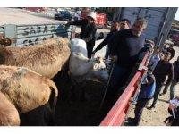 Aydın'da 221 genç çiftçinin hayvanları dağıtılmaya başlandı