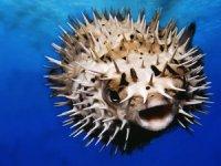 Türkiye denizlerinde hızla çoğalıyor