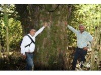"""2 bin 700 yıllık """"porsuk"""" ağacı"""