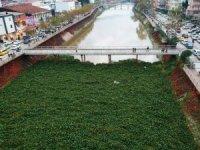 Su sümbülleri Asi Nehri'ni kapladı