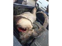 Vurulup, saklanan dağ keçisi bulundu