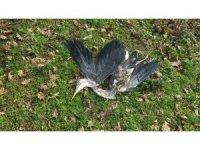 Beykoz'da karabatak ve avlanması yasak olan gri balıkçıl kuşu zevk için vuruldu