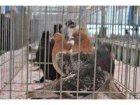 Hayrabolu'da güvercin festivali