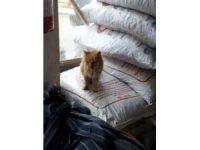 Vitrinle çuvallar arasında sıkışan kedi günler sonra fark edildi