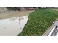 Su canavarları Asi Nehri'ni yeniden istila etti