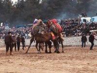 Bayramiç'te deve güreşleri heyecanlı anlara sahne oldu