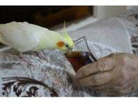 Çay tiryakisi papağan 'Limon'