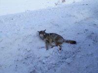 Ardahan'da bulunan yaralı kurt Kars'ta tedavi altına alındı