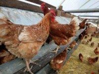 İcradan satılık tavuk ve yumurta