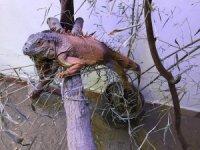 Muğla'da bulunan iguananın yeni evi Kocaeli oldu