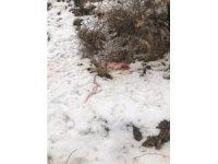 Köye inen aç kurtlar kangal köpeğini parçaladı