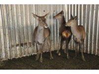 3 geyik ve 2 leylek Ormanya'ya gönderildi