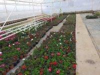 Belediye çiçek fidanlarını kendisi yetiştiriyor
