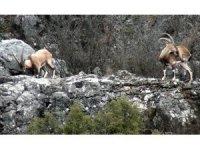 Yaban keçileri mahalle halkıyla iç içe