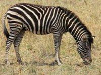 Zebraların çizgilerinin ne işe yaradığı öğrenildi: At sineklerinin konmaması için