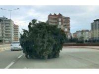 Adıyaman'da yürüyen çam ağacı