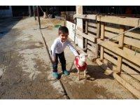Felçli kuzunun yürümesi için düzenek kurdu