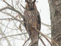 Nesli tükenmekte olan baykuş Tunceli'de görüldü
