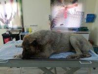 Vücuduna 150 saçma isabet eden köpek, yaşama tutunmaya çalışıyor