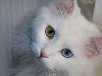 En güzel Van kedisi 'Spak'a özel bakım