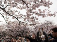 Japonya'nın yeniden doğuşu simgeleyen kiraz çiçekleri 'sakura'
