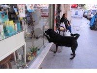 Akıllı köpek Kara her gün aynı saatte kapıyı tıklayıp kendini sevdiriyor
