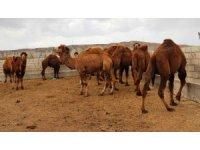 Şampiyon develer güreşe hazırlanıyor