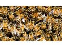 Kimyasal ilaçlar arıların ölmesine neden oluyor