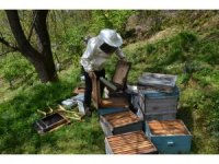 Arı üreticilerinin 'ayı' kabusu