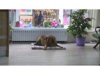 Sokak köpeği Noter huzurunda hayatını yaşıyor