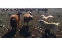 Koçların kavgasını çoban köpekleri ayırdı