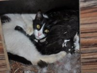 Yavru kedilere ördek annelik yapıyor