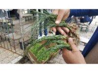 Zuzubak otu, kilosu 600 liradan alıcı buluyor
