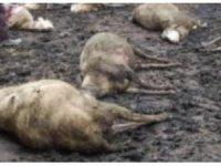 Tuzluca'da aç kalan kurtlar sürüye saldırdı