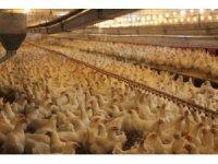 Türk tavukçular ihracatta Avrupa ülkeleriyle yarışıyor