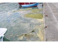 Gerze'de liman içinde yosun ve çöp kirliliği