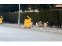 Vatandaşlar sahipsiz başıboş köpeklerden şikayetçi