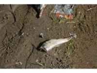 Ordu'nun derelerinde toplu balık ölümleri