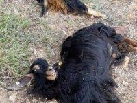 Kurtlar, 42 keçiyi telef etti