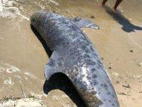 261 yunus balığı kıyıya vurdu